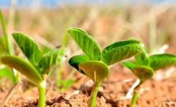 Herbicida natural poderia controlar ervas daninhas