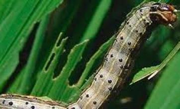 Gigante de grãos adota biológicos pra controle de lagartas